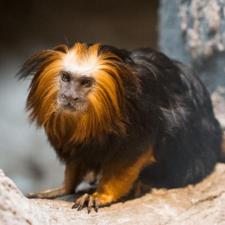 Golden Headed Lion Tamarin Headshot