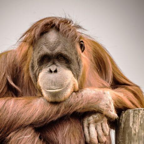 Amanda the Orangutan closeup