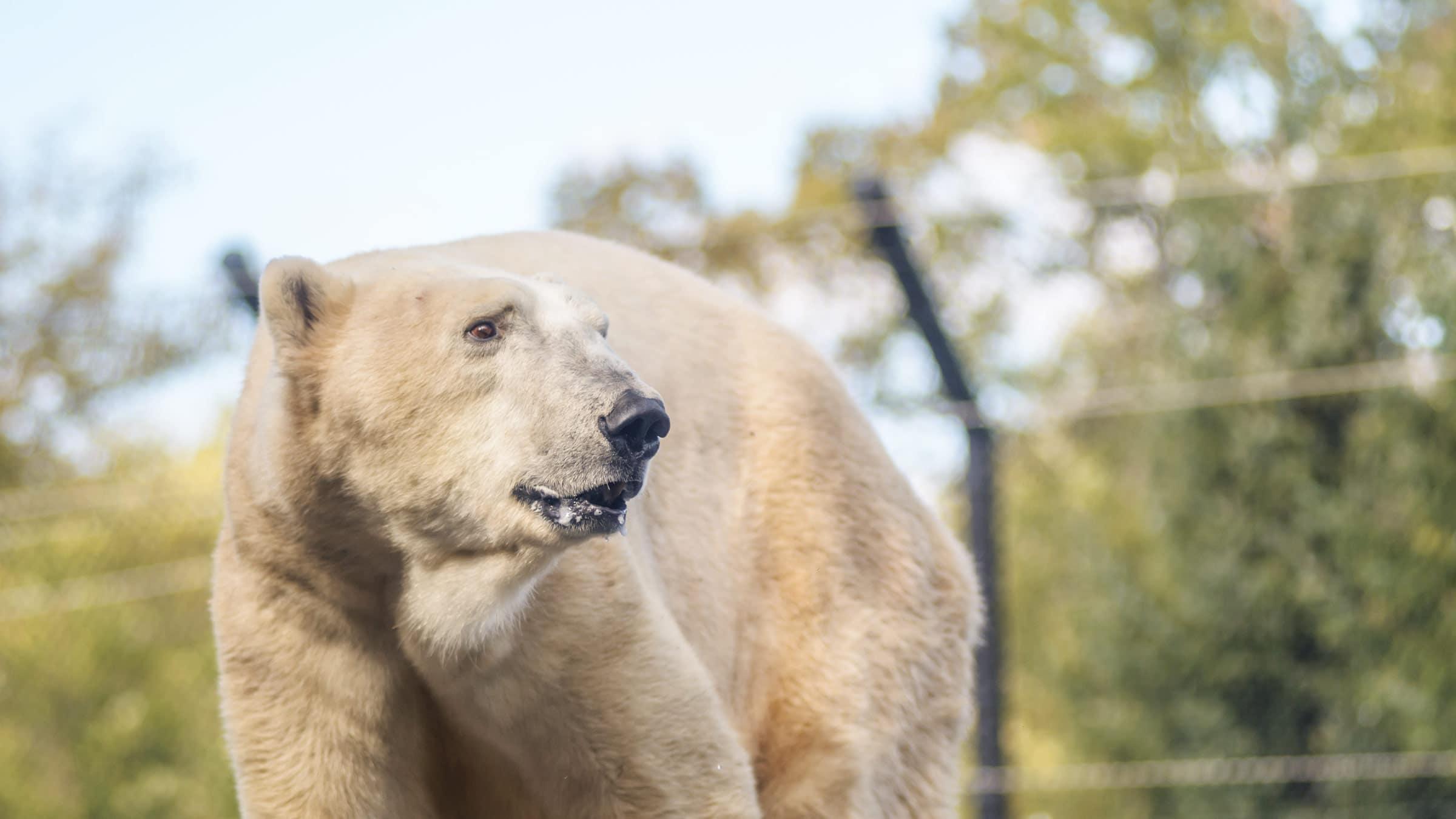 polar bear looking right