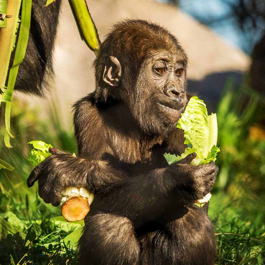 baby gorilla eating a piece of lettuce