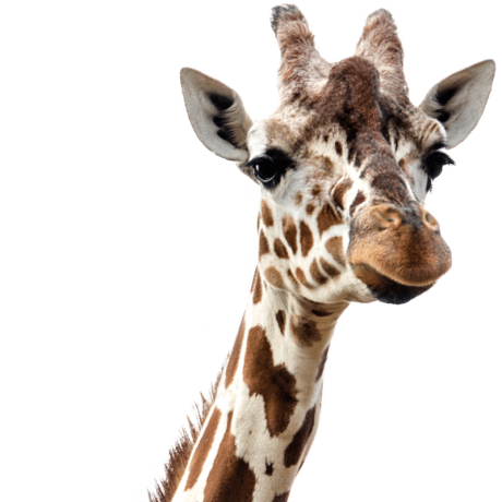 Giraf-Cut-F-1.png