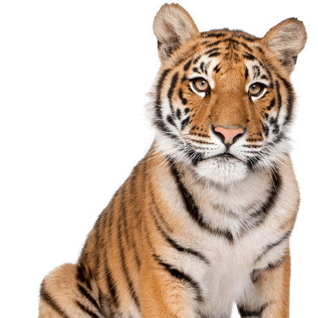 Tiger-Cutout-F.png