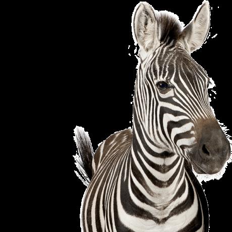 Zebra-Cut-F-1.png