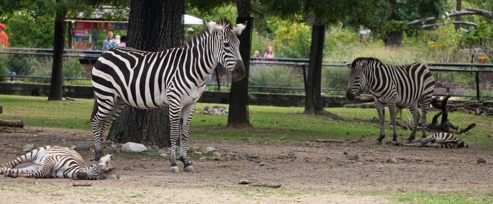 Zebra Mom and babies