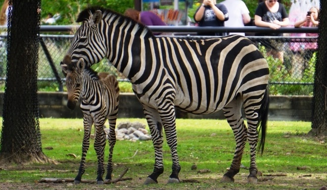 Zebra for WEB