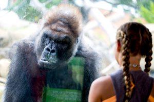 Gorilla looking at girl
