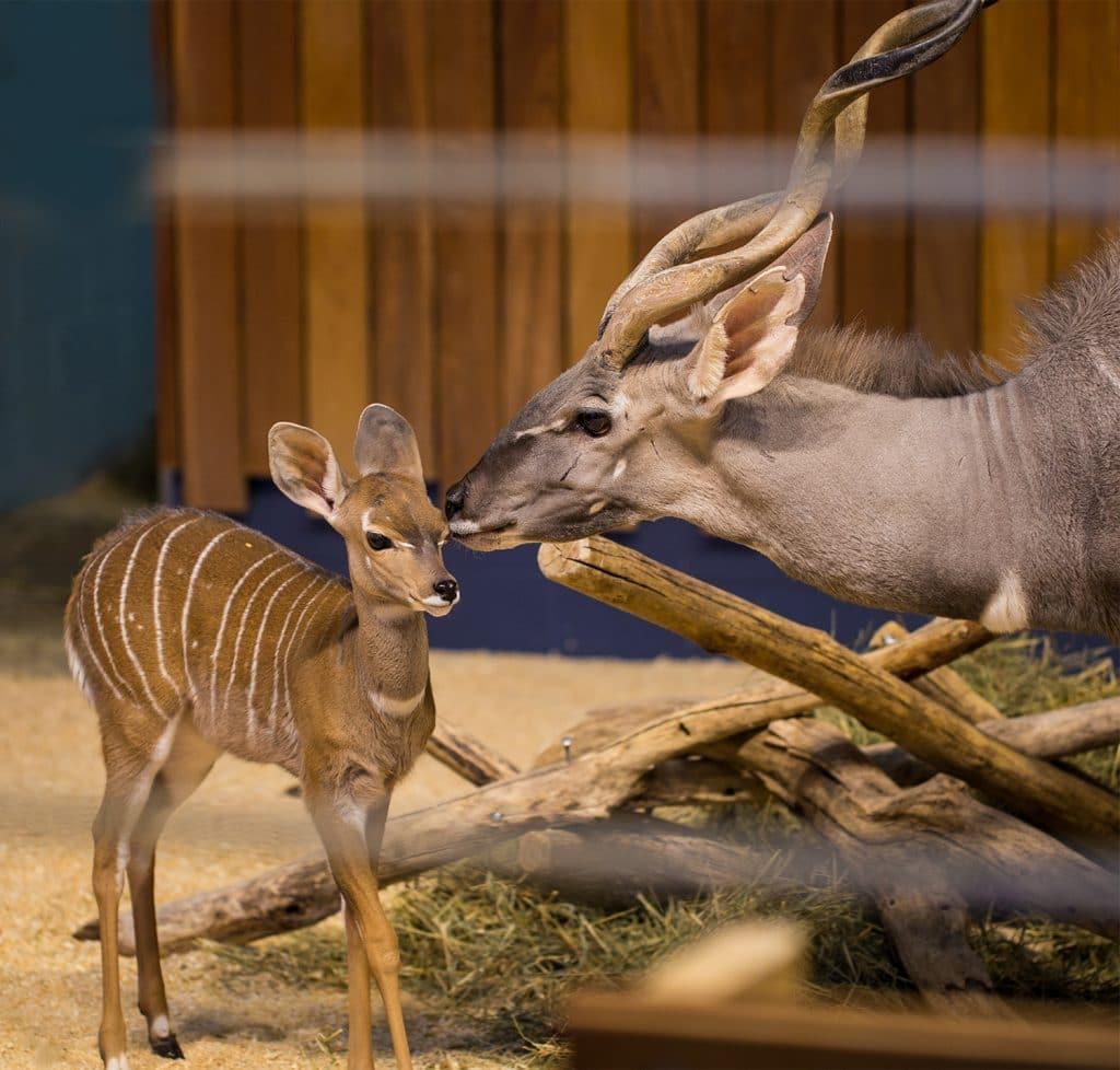 mama kudu kissing baby kudu
