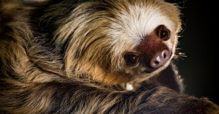 sloth looking at camera