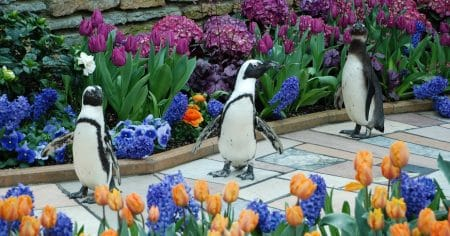 Penguins walking among tulips