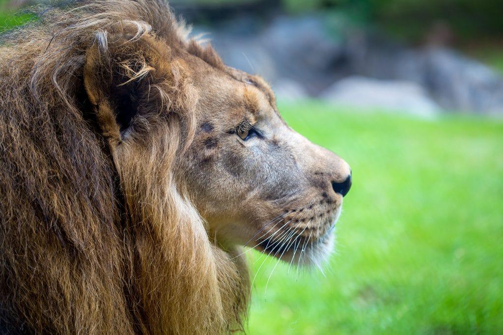 Lion profile of face