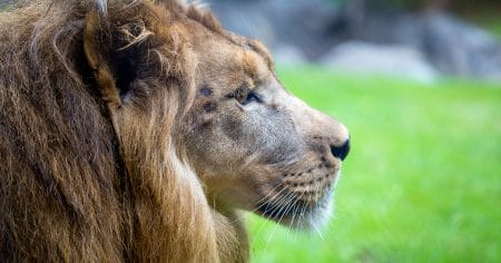 Lion profile of face