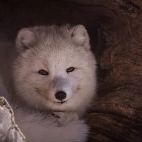 closeup of arctic fox in a hallowed out log
