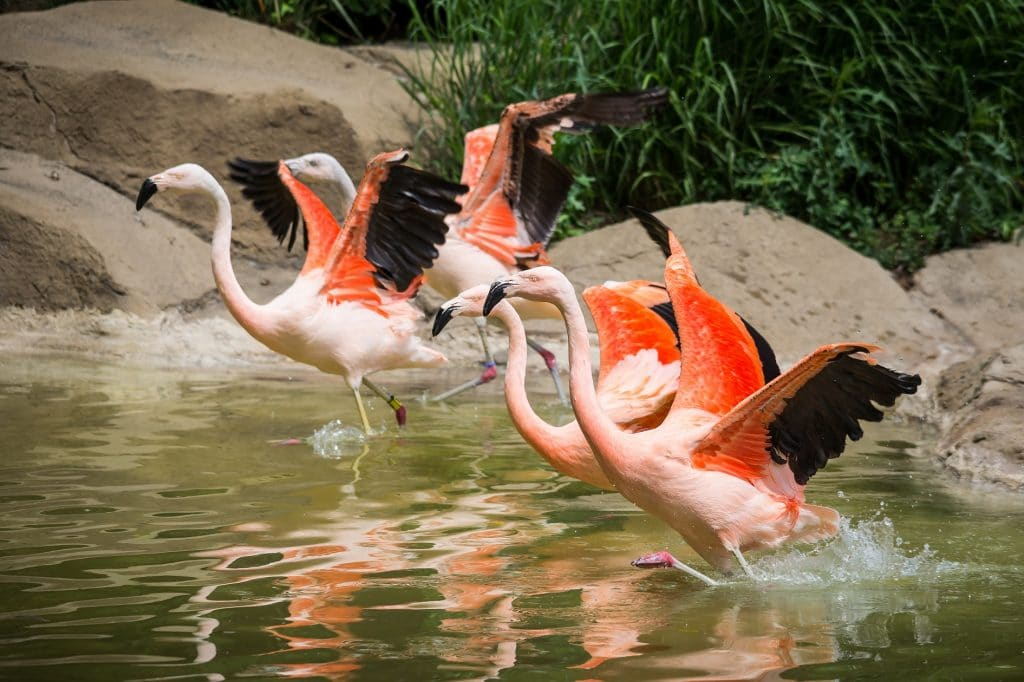 flamingos about to fly