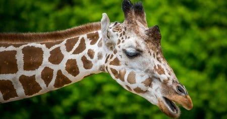 giraffe head and part of neck