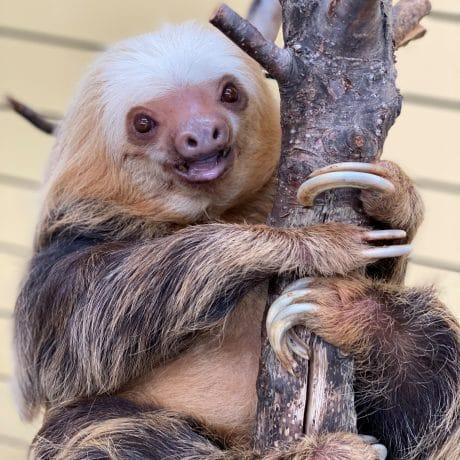 Chloe the sloth Smiling