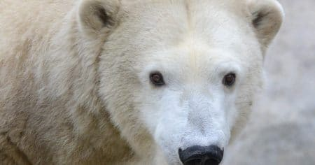 polar bear looking at camera