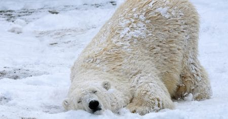 polar bear with head on the snow and butt in the air