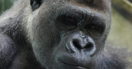close up of gorilla face