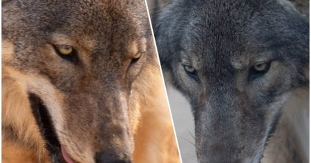 two wolves close up